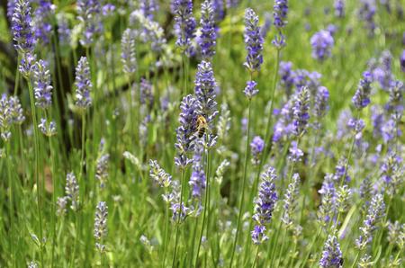 bee on flower: Bee on Lavender [Lavandula angustifolia]