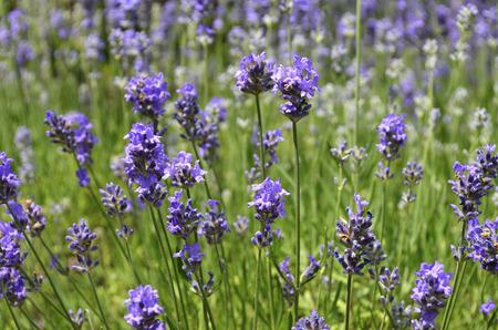 Some blossoms of Lavender [Lavandula angustifolia]