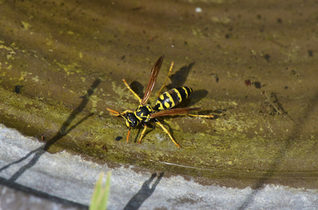 Yellowjacket is drinking water on a hot day Stock Photo