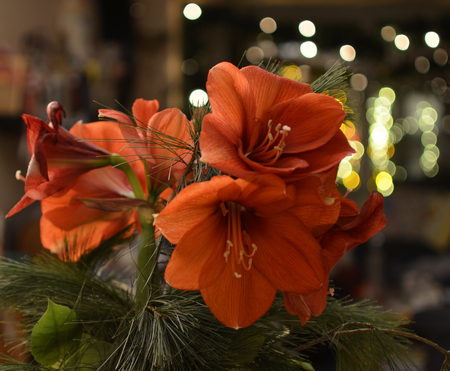 Close-up image from a bouquet of red Amaryllis (Amaryllidaceae), plant genus St. Josephs lilies (Hippeastrum)