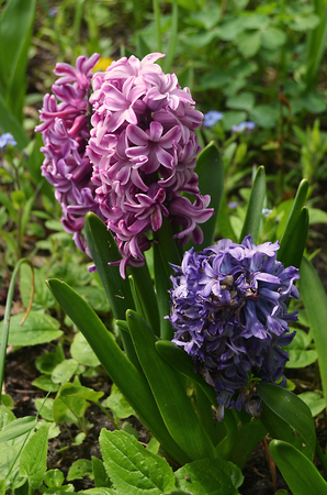 Springtime with pink and purple Hyacinths [Hyacinthus] in a Berlin garden in front of green leaves, Germany Stock Photo