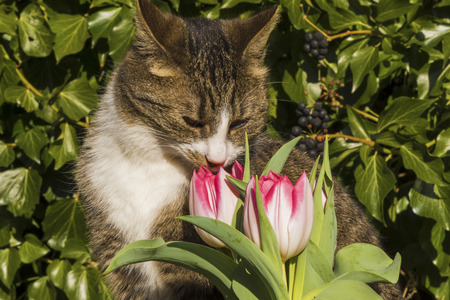 Nosy kitten smelling at pink and white tulips (Tulipa, Liliaceae) in the sunny garden