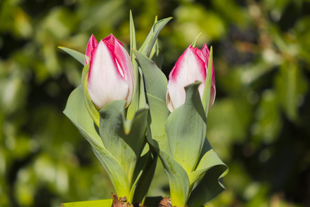 Macroshot from two pink and white tulips (Tulipa, Liliaceae) in the garden
