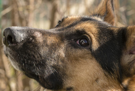 Mixed-breed dog between German Shepherd and Labrador Retrievers at learning in the garden Фото со стока