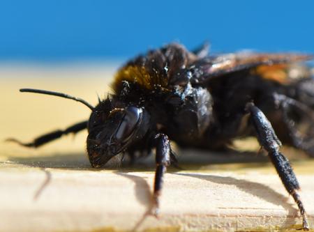 Wet bumblebee (genus Bombus) after saving from pool