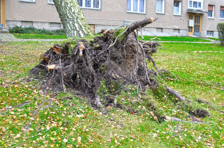 Storm damage with fallen birch and ripped out root ball after hurricane Herwart in Berlin, Germany Stock Photo