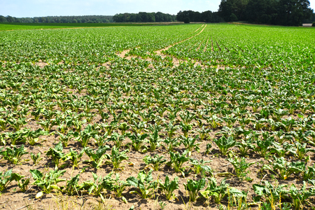 Due to water scarcity dry chard fields (Beta vulgaris cicla) in northern Germany in summer.