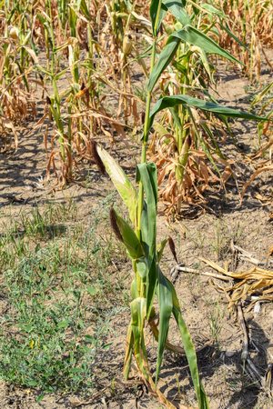 View of dry corn that was destroyed by the drought 写真素材