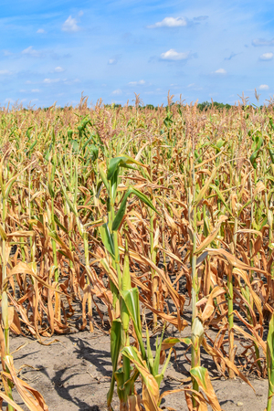 View of dry corn that was destroyed by the drought Banco de Imagens