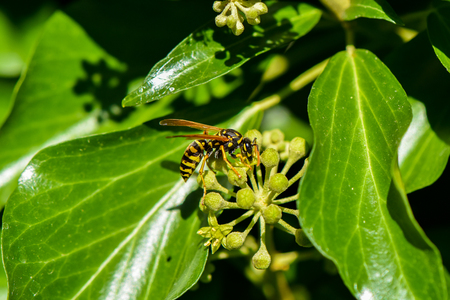 Close up from a wasp on ivy blossoms Stock Photo