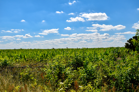 Corn field that has weathered the heat of summer, in front of a blue sky. 写真素材 - 107572828