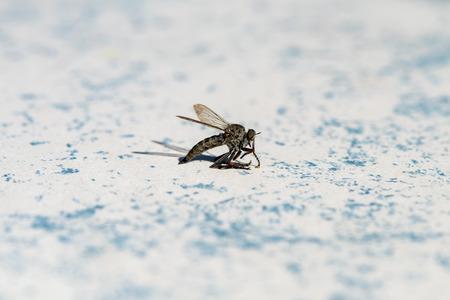Photo of a horsefly (Tabanidae).