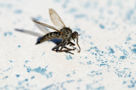 Macro shot of a horsefly (Tabanidae).