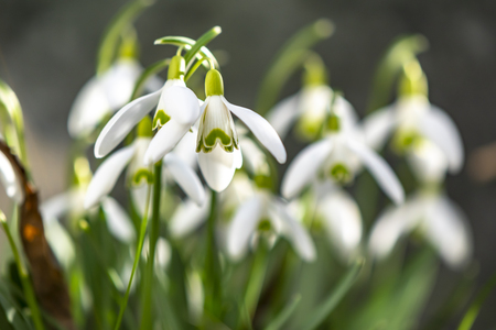 Early flowering Snowdrops (Galanthus Amaryllidaceae) in sunlight Stock Photo