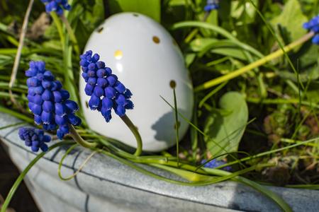Grape hyacinths (Muscari) in an old metal pan with a white ceramic egg in the background.