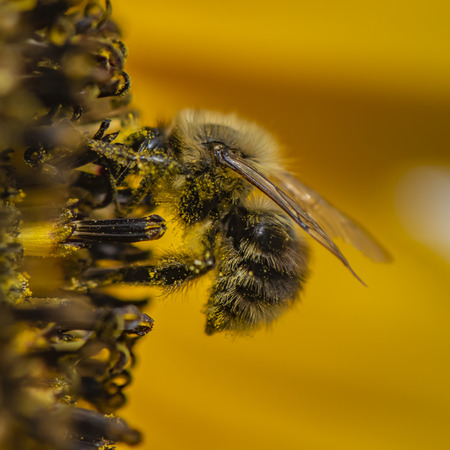 Closeup of a bee sitting on a sunflower and covered with pollen all over.