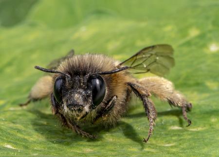 Macro shot of a honeybee sitting in the garden on a leaf in the sunshine. Reklamní fotografie