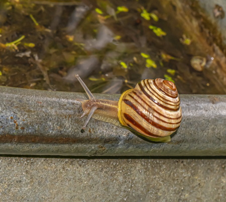 Closeup of a snail (gastropod) crawling in the garden on the edge of a zinc tub with water.