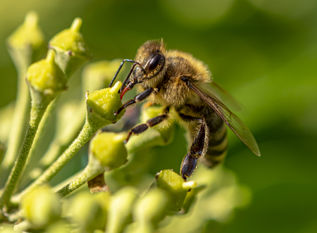 Macro shot of a bee sitting on the blossoms of an ivy and sucking nectar with its proboscis. Reklamní fotografie