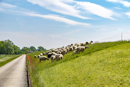 A flock of sheep grazing on a dike on the river Elbe. The animals are used to maintain the dike planting in an ecological way.