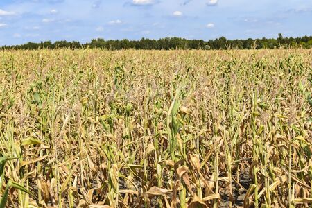 View of dry corn that was destroyed by the drought. 写真素材
