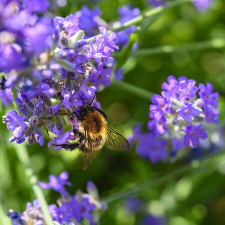 Bumblebee (Bombus) on lavender (Lavandula angustifolia) at a wild herb meadow.