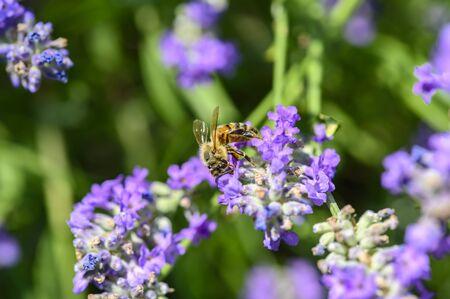 Bee (Apis) on lavender (Lavandula angustifolia) at a wild herb meadow.