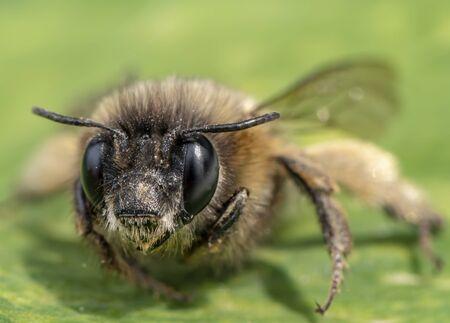 Macro shot of a honeybee sitting in the garden on a leaf in the sunshine. Stok Fotoğraf