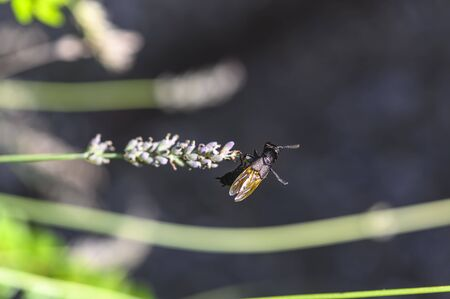Black beetle on a lavender flower whose chitin shell dazzles in the sun in many bright colors.