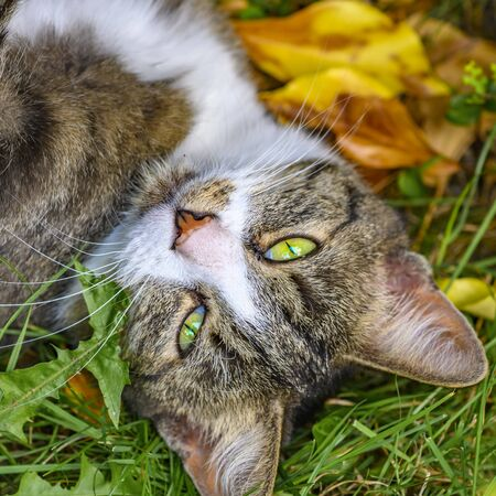 A young striped cat lying relaxed in the garden on autumn leaves.