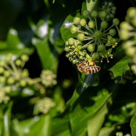 Macro shot of a bee sitting on the blossoms of an ivy and sucking nectar with its proboscis. Stok Fotoğraf