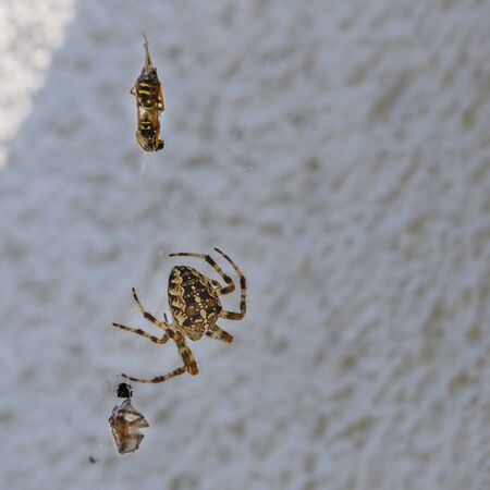 After the fight between two spiders of different size, the smaller has lost and is spun.