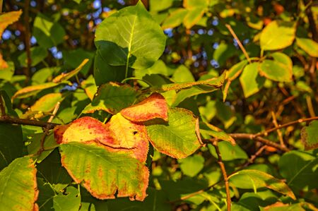 Colorful autumn leaves in the evening sunlight.