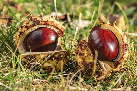 Chestnuts (Aesculus Hippocastanum) lying between grass at an autumn and sunny day.