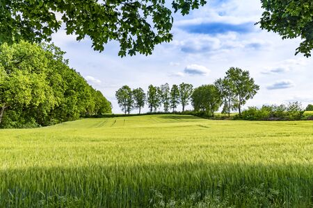 View over a grain field to trees at the horizon under a blue sky in Lower Saxony, Germany. Stok Fotoğraf