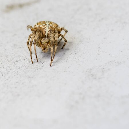 Macro shot of a big european garden spider (Araneus diadematus).