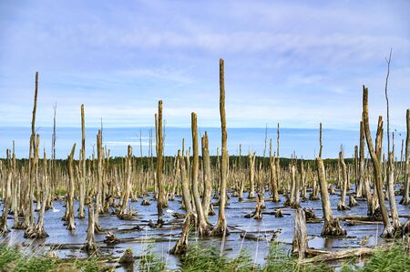 Moorland in the Peenetal, Germany near the isle Usedom, where a dead forest is seen, consisting only of towering bare trunks on which hundreds of birds settle.