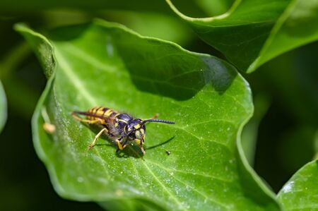 Macro shot of a wasp (Polistes dominula) sitting on a leaf and cleaning its antennae. Фото со стока - 130754499
