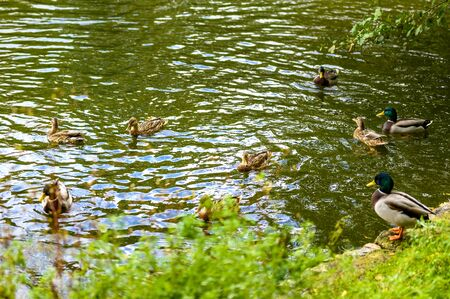 Rural scene with ducks, which swims in a pond.