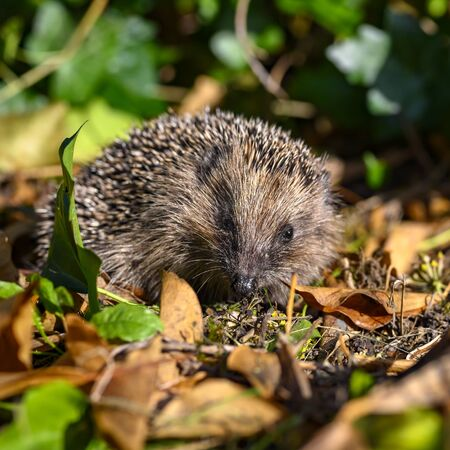 Young hedgehog (Erinaceus Europaeus) in the garden between dry foliage on a sunny autumn day. 免版税图像