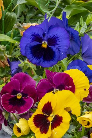 Closeup of colorful pansies (Viola wittrockiana).