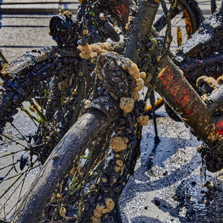 Bicycles and other objects completely covered with mud, algae and barnacles were recovered by committed citizens from the Spree river in central Berlin. Standard-Bild - 146883505