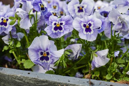 Closeup of many lilac pansies (Viola wittrockiana) in the garden. Standard-Bild - 146883508