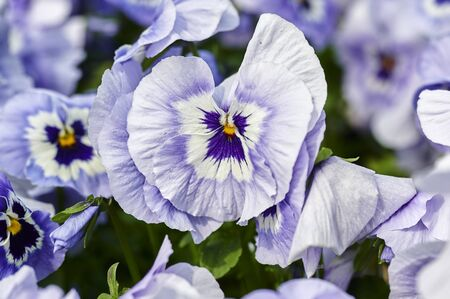 Closeup of many lilac pansies (Viola wittrockiana) in the garden.