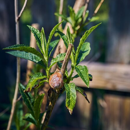 Closeup of a snail  in the garden on a branch between green leaves.