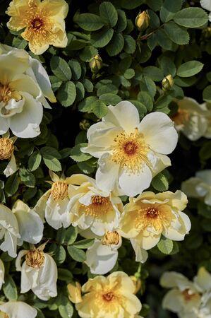 Close-up of bright yellow and orange dog roses (Rosa corymbifera) in the sunshine.