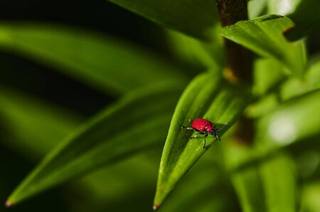 Macro shot of a red lily beetle (Lilioceris lilii) on a leaf.