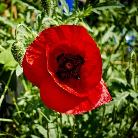 Bright red poppy (Papaver orientale) in the garden in the sunhine.