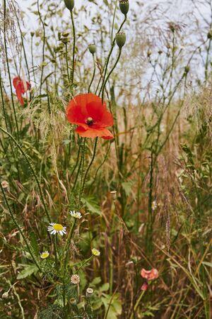 Bright red poppy (Papaver orientale) between wildflowers in the sunshine. 版權商用圖片