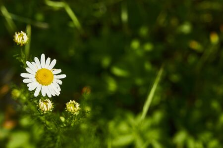Macro of chamomile flowers (matricaria chamomilla) in front of a meadow.